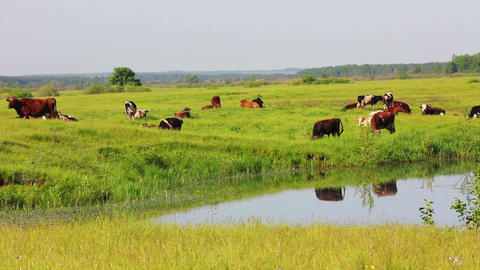 herd of cows on pasture near lake Stock Video Footage