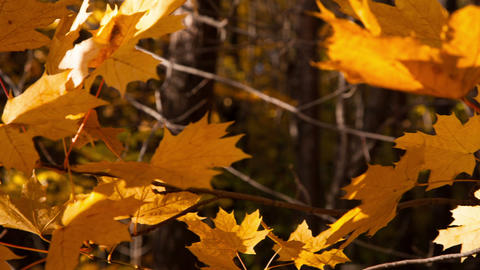 beautiful autumn yellow leaves - dolly shot Stock Video Footage