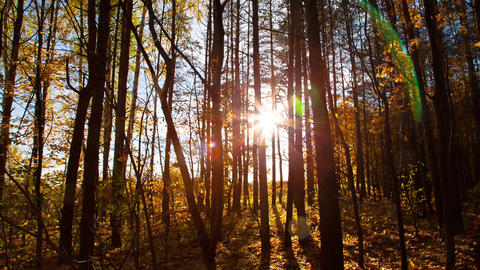 beautiful autumn forest with sun shining - dolly s Footage