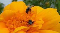 POLLINATION PROCESS (YELLOW FLOWER AND INSECTS--1A Stock Video Footage