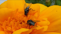 POLLINATION PROCESS (YELLOW FLOWER AND INSECTS--1A Footage