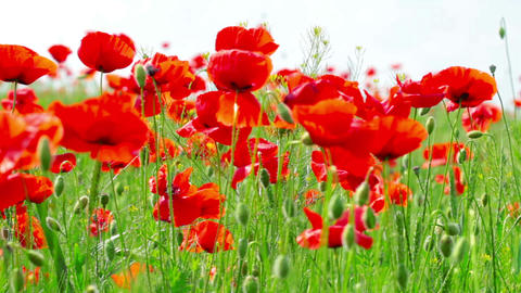 field of red poppies Stock Video Footage