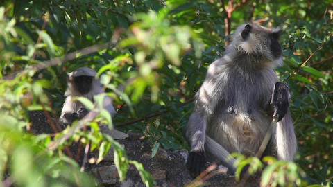 Gray langurs Stock Video Footage