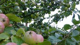 Apple tree Stock Video Footage