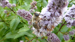 BEE BUSY POLLINATING A CLUSTERS OF FLOWERS Stock Video Footage