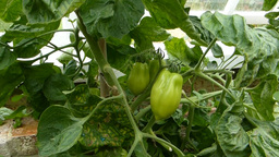 POTTED TOMATO PLANTS BEARING FRUITS (Capsicum 2b) Stock Video Footage