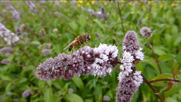 BEE BUSY POLLINATING A STALK OF FLOWERS Stock Video Footage