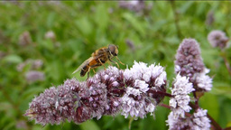 BEE BUSY POLLINATING A STALK OF FLOWERS stock footage