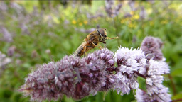 POLLINATION PROCESS Stock Video Footage