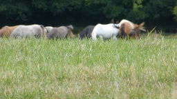 Grazing A Herd Of Horses On Grassland ( Horse 1a ) stock footage