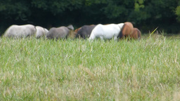Grazing a herd of horses on grassland ( horse 1a ) Stock Video Footage