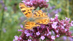 YELLOW BUTTERFLY AND PURPPLE FLOWER--1B stock footage