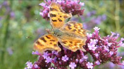 YELLOW BUTTERFLY AND PURPPLE FLOWER--1B Stock Video Footage