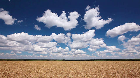 ears of wheat and cloudy sky Footage