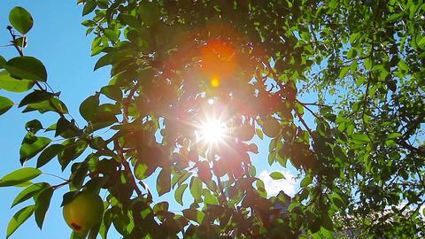 pear tree Footage