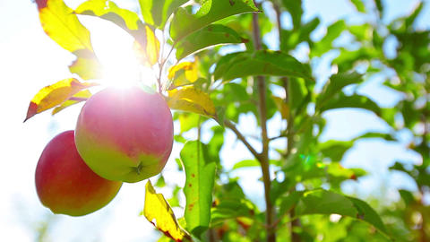 red apples hanging on a tree Stock Video Footage