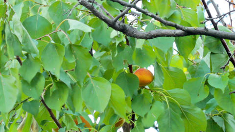 Ripe apricots on the branch Footage