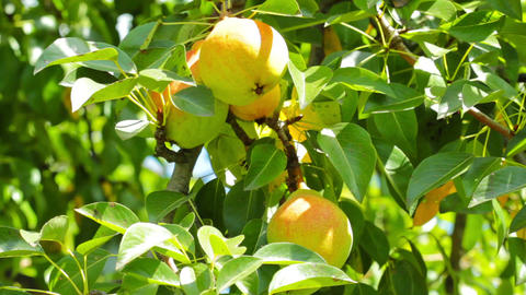 pear tree Stock Video Footage