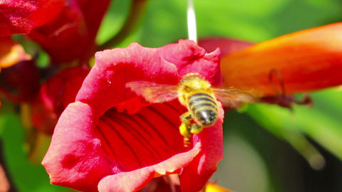 flower and bee Footage
