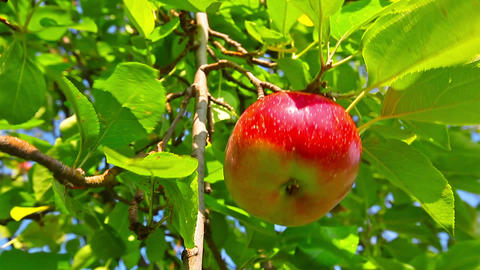 red apple hanging on a tree Stock Video Footage
