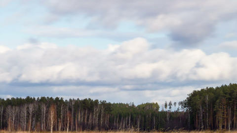 Clouds over the pine forest. Time Lapse Footage