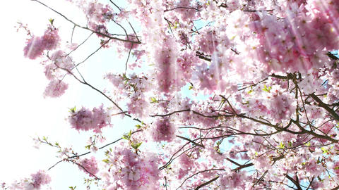 Cherry Blossoms Stock Video Footage