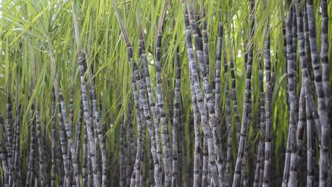 Sugarcane Plantation Stock Video Footage