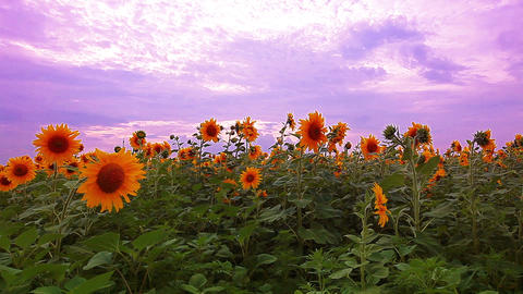 flowering sunflowers on a background sunset Stock Video Footage