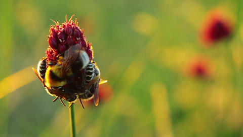 bees and bumble-bee on a flower Stock Video Footage