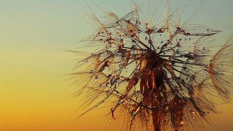 dandelion macro - drops of rain Footage