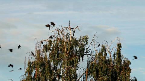 crow on tree Stock Video Footage