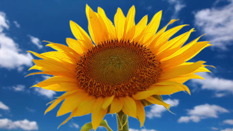 flowering sunflower on a background cloudy sky Footage