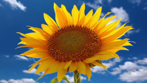 flowering sunflower on a background cloudy sky Stock Video Footage