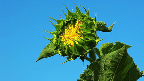 flowering sunflower Stock Video Footage