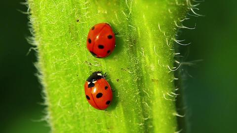 Ladybugs Stock Video Footage
