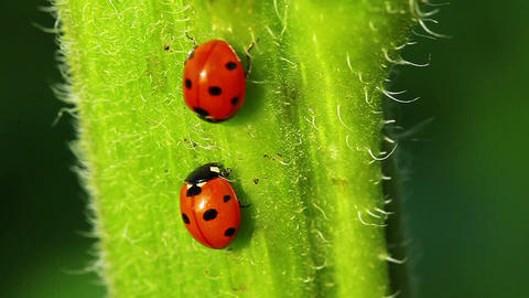 Ladybugs Footage