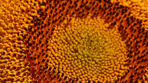 sunflower - macro Stock Video Footage