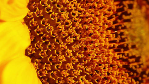 sunflower - macro Footage