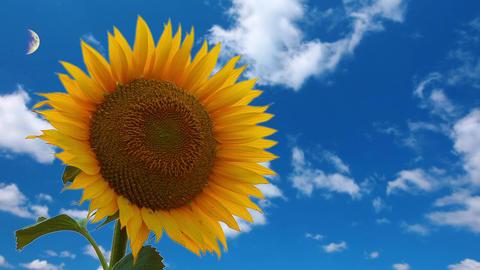 flowering sunflower Stock Video Footage