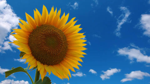 flowering sunflower Footage