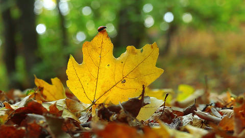 ladybird on an autumn leaf Footage