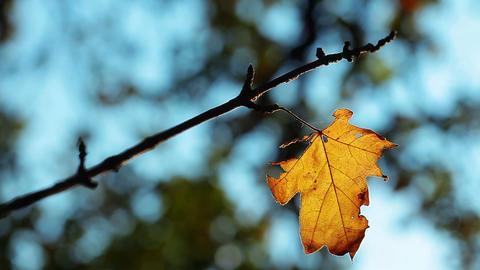 autumn foliage Stock Video Footage