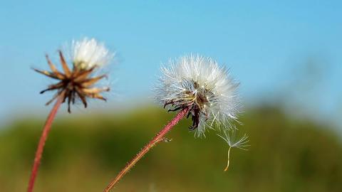 dandelion macro Footage