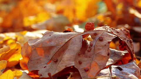 ladybird on an autumn leaf Stock Video Footage