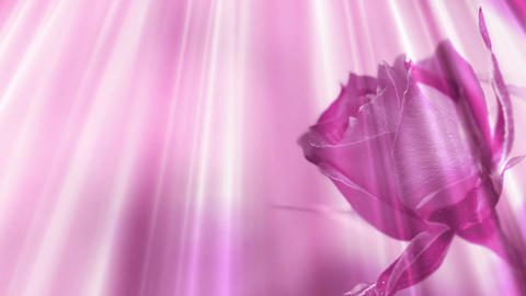 Rose Background Stock Video Footage