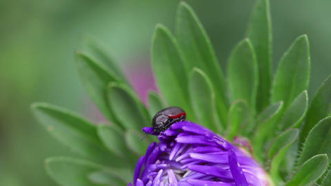 Beetle on the flower Stock Video Footage