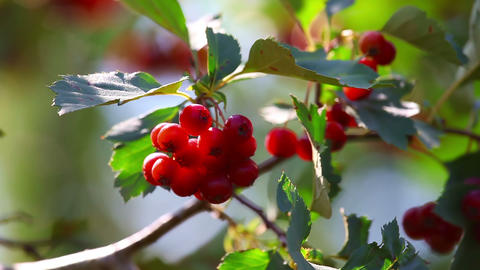 Wild berries Stock Video Footage