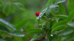 Wild berry Stock Video Footage