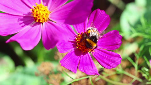 Busy bumblebee Stock Video Footage
