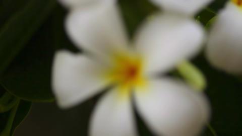Plumeria Stock Video Footage
